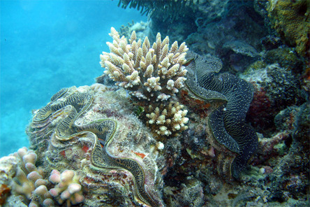 Giantclams_2