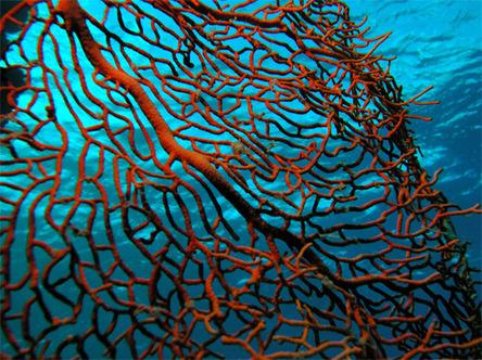 Gorgonianseafan